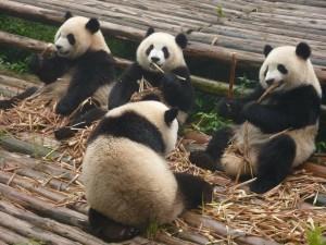 panda-317980_1280-300x225