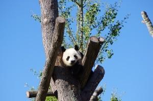 panda-642767_1280-300x199