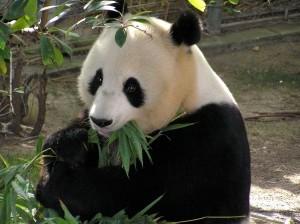 panda-655491_1280-300x224